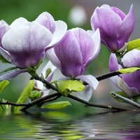 Magnolia Apt.