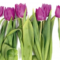 Violet Tulip Apt