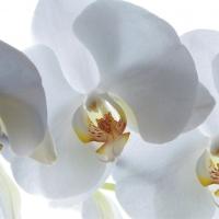 White Orchid Studio